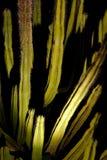 Saguaro cactus at night Royalty Free Stock Photos