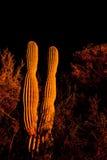 Saguaro cactus at night Royalty Free Stock Image