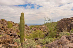 Saguaro Cactus and Ocotillo plant on South Mountain. Looking north from South Mountain Hidden Valley trail royalty free stock photo