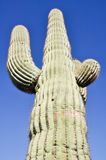 Saguaro cactus, Organ Pipe Cactus National Park, Arizona. (USA Royalty Free Stock Images