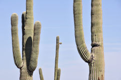 Saguaro cactus, Organ Pipe Cactus National Park, Arizona. (USA Stock Photo