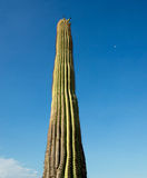 Saguaro Cactus Portrait Royalty Free Stock Photos