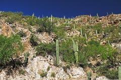 Saguaro Cactus on a Rocky Hill on Mt. Lemmon. Many Saguaro Cactus on top of a rocky hill on Mount Lemmon in Tucson, Arizona, USA in the Santa Catalina Mountains Stock Image