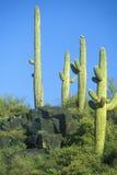 Saguaro cactus in Roosevelt Lake, AZ Royalty Free Stock Images