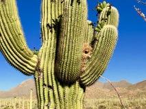 Free Saguaro Cactus, Saguaro National Park Stock Images - 166614624
