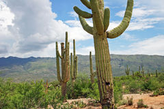 Saguaro Cactus, Saguaro National Park, Arizona. Saguaro Cacti at Saguaro National Park, part of the Sonoran Desert in Arizona Royalty Free Stock Photo