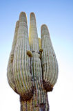 Saguaro cactus in Scottsdale,AZ,USA. Royalty Free Stock Images