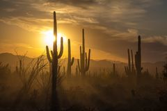 Saguaro Cactus silhouettes against golden sunset skies, Tucson, AZ. The sun sets behind silhouettes of Saguaro Cacti in Saguaro National Park, Arizona.  Dust in Royalty Free Stock Photos