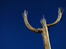 Saguaro Cactus Skeleton Stock Images