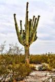 Saguaro Cactus Sonora Desert Arizona San Tan Mountains. Saguaro cactus Sonora desert and San Tan Mountains in central Arizona USA stock photo