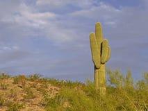 Saguaro cactus. At the sonoran desert Stock Image