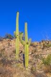 Saguaro Cactus in the Sonoran Desert in Arizona Stock Photography