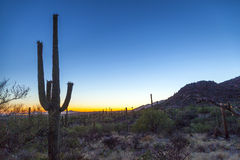 Saguaro Cactus in the Sonoran Desert in Arizona. Famous saguaro cactus in the Sonoran Desert near Tuscon, Arizona royalty free stock image