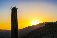 Saguaro Cactus in the Sonoran Desert in Arizona. Famous saguaro cactus in the Sonoran Desert near Tuscon, Arizona, during sunset stock images