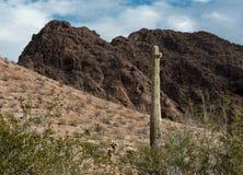 Saguaro Cactus, Sonoran Desert. Saguaro Cactus in the Sonoran Desert, the Castle Dome Mountains in central Arizona stock photo