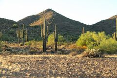 Saguaro Cactus. In the Sonoran desert in the evening stock images