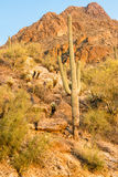 Saguaro Cactus in the Sonoran Desert Royalty Free Stock Photo