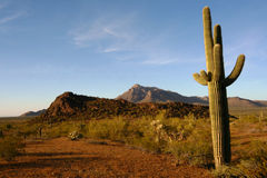 Saguaro cactus, sonoran desert at sunrise Stock Images
