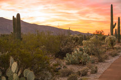 Saguaro Cactus in Sonoran Desert. Sunrise in Sonoran Desert outside Tucson AZ with mountains and clouds in background Stock Photo