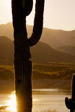 Saguaro Cactus Sunrise. A saguaro cactus backlit at sunrise over a lake in the arizona desert stock photos