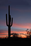 Saguaro Cactus at Sunrise in Organ Pipe Cactus National Park Royalty Free Stock Photography
