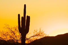 Saguaro Cactus in Sunset. A saguaro cactus stands silhouetted against an arizona sunset Royalty Free Stock Photos