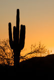 Saguaro Cactus in Sunset. A saguaro cactus stands silhouetted against an arizona sunset Stock Images