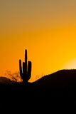 Saguaro Cactus in Sunset Royalty Free Stock Photography