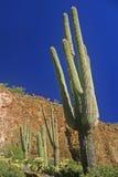 Saguaro cactus, Tonto Cliff Dwellings, Roosevelt Lake, AZ Stock Image