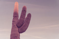 Saguaro Cactus tree with lots of copy space Royalty Free Stock Image