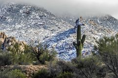 Saguaro Cactus Tucson Arizona royalty free stock photo