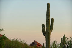 Saguaro cactus with two holes for nests Stock Image
