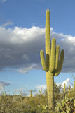 Saguaro Cactus and white puffy clouds Stock Image