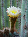 Saguaro cactus. White and yellow flower. Carnegiea gigantea A bit of humidity on the spines. The picture was taken in Salta, Argentina stock photos