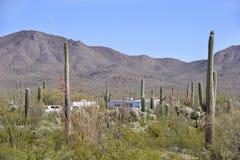 Saguaro Royalty Free Stock Images