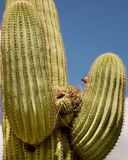 Saguaro Catus With Birds Nest, Arizona Royalty Free Stock Images