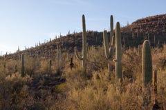 Saguaro, cena da montanha Imagens de Stock
