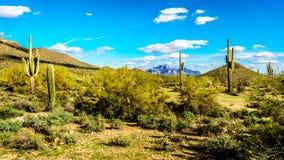 Saguaro, Chollaand другие кактусы в semidesert ландшафте вокруг горы Usery и горы суеверия на заднем плане стоковые изображения rf