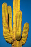 Saguaro Close-Up Royalty Free Stock Photography