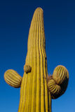Saguaro closeup. A mature saguaro cactus against a distraction-free deep blue sky. Lit by late afternoon sun Stock Photos