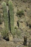 Saguaro Stock Photos
