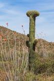 Saguaro con cresta raro Imagen de archivo libre de regalías