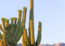Saguaro crêté Photo stock