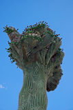 Saguaro Cristate Fotografia Stock
