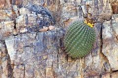 Saguaro de bébé s'élevant sur la roche photos libres de droits