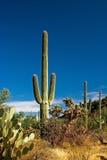 saguaro de cactus Photo libre de droits