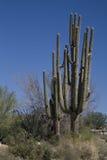 saguaro de gigantea de carnegiea Images stock