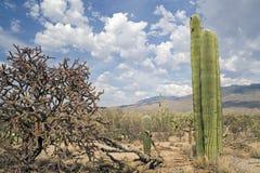 saguaro de stationnement national Photographie stock libre de droits