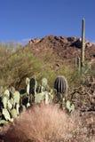 saguaro de stationnement national Image stock