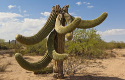 Saguaro decapitado Foto de Stock Royalty Free